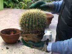 Repot Cactus