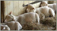 """Talk is Sheep"" - harryShots.com - Harry Lipson III photography"