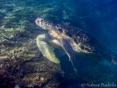 Green Turtle, Lady Elliot Island