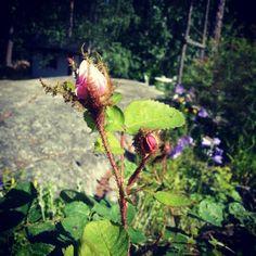 Mossrose in my garden / Finland