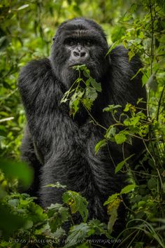 The Stance - Gorilla eating - by Nelis Wolmarans