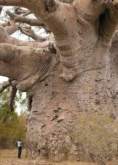 The largest baobab tree in the world