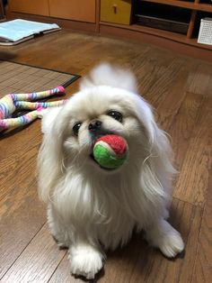 I love a ball. #pekingese #ペキニーズ #ペキ