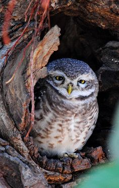 Spotted Owl (Athene brama) by spnatha