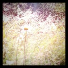 cobwebs & daisies in the morning sun