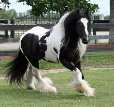 The Gypsy Horse is also known as an Irish Cob, Gypsy Cob, Gypsy Vanner, Coloured Cob or Tinker horse.    Origin: UK and Ireland. They come in a variety of colors, but are mostly of piebald coloring and have many draft horse characteristics.    There is no exact known history of the Gypsy Cob. It is believed by some that the Gypsy Cobs are descended from a combination of Shires, Clydesdales, Friesians, and Dales Ponies with their origins in the Romani gypsy community of the United Kingdom