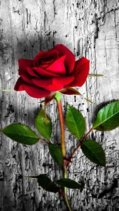 26 Happy Valentine's Day Roses/flowers Wallpapers for iPhone - Red rose. Beautiful Flowers Wallpapers, Beautiful Rose Flowers, Beautiful Nature Wallpaper, Pretty Wallpapers, Red Flowers, Wallpaper Wallpapers, Paper Flowers, Iphone Wallpaper, Rose Flower Wallpaper