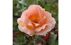 "Crépuscule Double 4"" blooms of rich apricot with ruffled petals that open to reveal rich golden centers. This repeat blooming nearly thorn-less rose can be grown as a climber or a shrub. very fragrant, 10-12 ft"