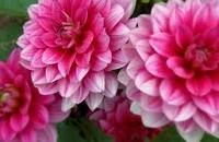 Dahlias!! benefit from staking. flower during summer months. can be overwintered if are lifted out of ground and stored till spring in frost-free place. it's a bulb