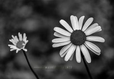 A postcard for you by Maurizio Di Renzo on Dandelion, Flora, Black And White, Plants, Garden, Collection, Black White, Blanco Y Negro, Garten