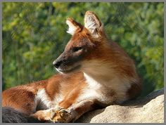 Dhole, such a gorgeous animal!