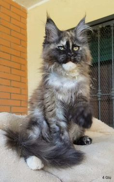 Nature Animals, Animals And Pets, Big Cats, Cool Cats, Kittens Cutest, Cats And Kittens, Persian Cats, Norwegian Forest Cat, Maine Coon Cats