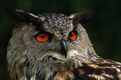 owl 1 by ~pavalo on deviantART