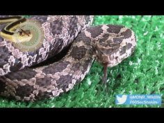 A look at the Eastern Massasauga Rattlesnake , part of the 60-Second Snakes series.