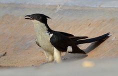 The Jacobin Cuckoo, Pied Cuckoo, or Pied Crested Cuckoo (Clamator jacobinus) is a member of the cuckoo order of birds that is found in Africa and Asia. It is partially migratory in India.
