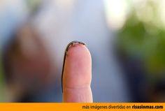 La lagartija más pequeña del mundo.