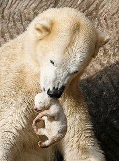 Polar bear mother and tiny cub