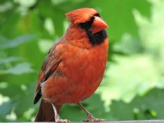Northern Cardinal. I photographed at the BX. Zoo Overlook.
