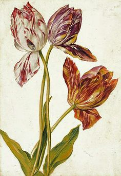 prints like this could be found in grandparents' living room (Dutch Tulips 18th century)