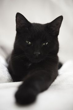 black kitty wants you to join our collab board for hannah's cats!