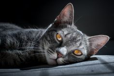 Gray Glorious Gaze with Yellow Eyes Lying On Sofa (15 more photos)