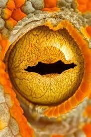 Image result for reptilian eye close up