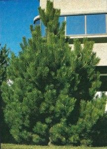 evergreen tree with long needles | Colorado Blue Spruce and Other Evergreen Trees