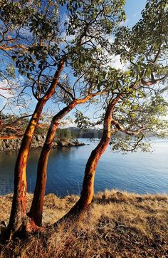 Madrone trees, San Juan Islands, Washington State