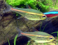 93 best tank 1 images in 2019 aquarium freshwater aquarium fish