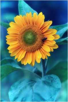 blue and sunflower