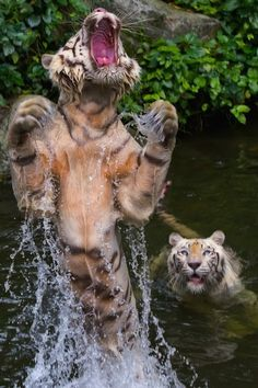 "TIGER No. 1: ""Aarrgh!!!  I missed it AGAIN!!""  TIGER No. 2: ""Honey, if you can't catch that fish, just admit it and let me get something else going for dinner."""