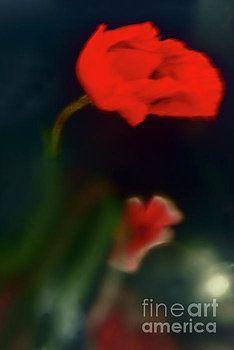 Poppies At Night. by Alexander Vinogradov