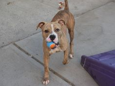 MIGHTY - A1085386  I HAVEN'T PLAYED BALL IN A LONG TIME - I WAS A STRAY.  CAN WE PLAY AT MY NEW FOREVER HOME WITH YOU?