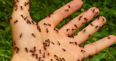 Homemade Natural Ant Repellent Ingredients 30 drops clove essential oil 30 drops peppermint essential oil 4 oz water Directions Mix essential oils and water in a spray bottle. Spray anywhere you see ants.