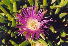 Pigface | Australian Bush Tucker – Bush Food. ** I had no idea you could eat Pigface! We had them at our house when I was growing up.
