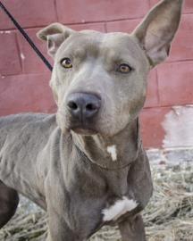 03/25/15 still listed - Chickadee Pit Bull Terrier • Adult • Female • Medium Humane Educational Society of Chattanooga, TN Chattanooga, TN