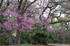 Redbud Tree, Cercis canadensis.  I'm not sure if this is Eastern or Texas Redbud, but my guess is Eastern.  More info:  http://texastreeplanting.tamu.edu/Display_Onetree.aspx?tid=15