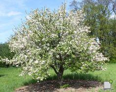 "Malus robusta (Malus bacatta x Malus prunifolia) Variedad ""Red Sentinel"" - Manzano ornamental de flores blancas"