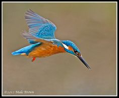 Male Kingfisher   Malc   Flickr