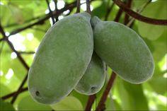 Schijnaugurk (Akebia quinata) | MijnTuin.org Plant Leaves, Plants, Plant, Planting, Planets