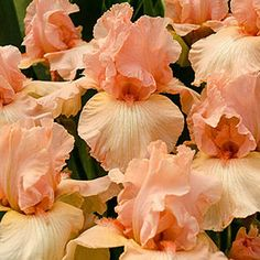 Garden with Breck's and SAVE! Shop Breck's premium Beverly Sills Tall Bearded Reblooming Iris and try our gorgous garden flowers! Plumeria Flowers, Iris Flowers, Fall Flowers, Perennial Bulbs, Sun Perennials, Beautiful Gardens, Beautiful Flowers, Part Shade Flowers, Beverly Sills