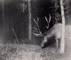 A bull elk catches a camera string in his antlers, triggering a flash. Yellowstone National Park, Wyoming, July Photograph by George Shiras, National Geographic Wildlife Photography, Animal Photography, Yellowstone National Park, National Parks, Bull Elk, National Geographic Society, Outdoor Camera, Wildlife Art, Vintage Photographs