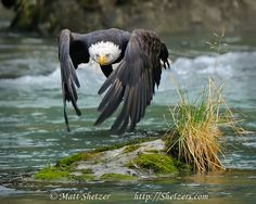 An adult Bald Eagle takes off and heads down river in search of salmon on the Chilkoot river in Haines, Alaska.  Take Off - Shetzers Photography.