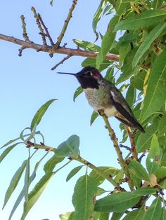 This little Costa's Hummingbird returns to visit blogger Noelle every year! Learn more on the Birds and Blooms Blog.