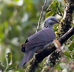 Nilgiri Wood Pigeon - File:Columba elphinstonii.jpg