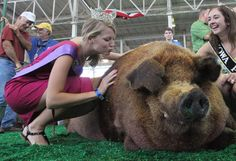 """""""Reggie"""": Weighing in at 1,355lbs, Reggie sets a new record at the Iowa State Fair Big Boar Contest. Not too picky about his diet, his owner, Rick Stockdale of Madison, IN, says Reggie eats bread, Twinkies, Ho-Hos and donuts as well as corn and produce, with the exception of squash! Good ol Iowa State Fair!"""