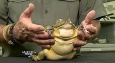 Image result for african giant frogs