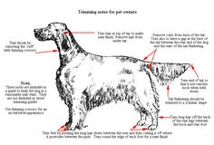 Résultat d'images pour english setter Grooming Chart Gordon Setter, Dog Grooming Tips, Most Beautiful Dogs, Puppy Images, English Cocker Spaniel, Pet Life, Hunting Dogs, Working Dogs, Doge