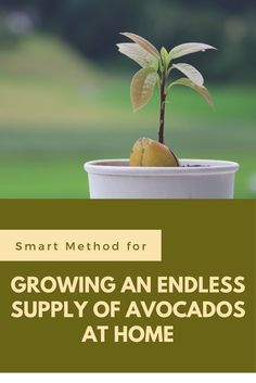 Smart Method for Growing an Endless Supply of Avocados at Home