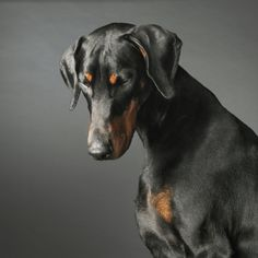The Doberman Pinscher is among the most popular breed of dogs in the world. Known for its intelligence and loyalty, the Pinscher is both a police- favorite Most Beautiful Dogs, Animals Beautiful, Big Dogs, Dogs And Puppies, Doggies, Funny Puppies, Corgi Puppies, Pitbull, Canis Lupus